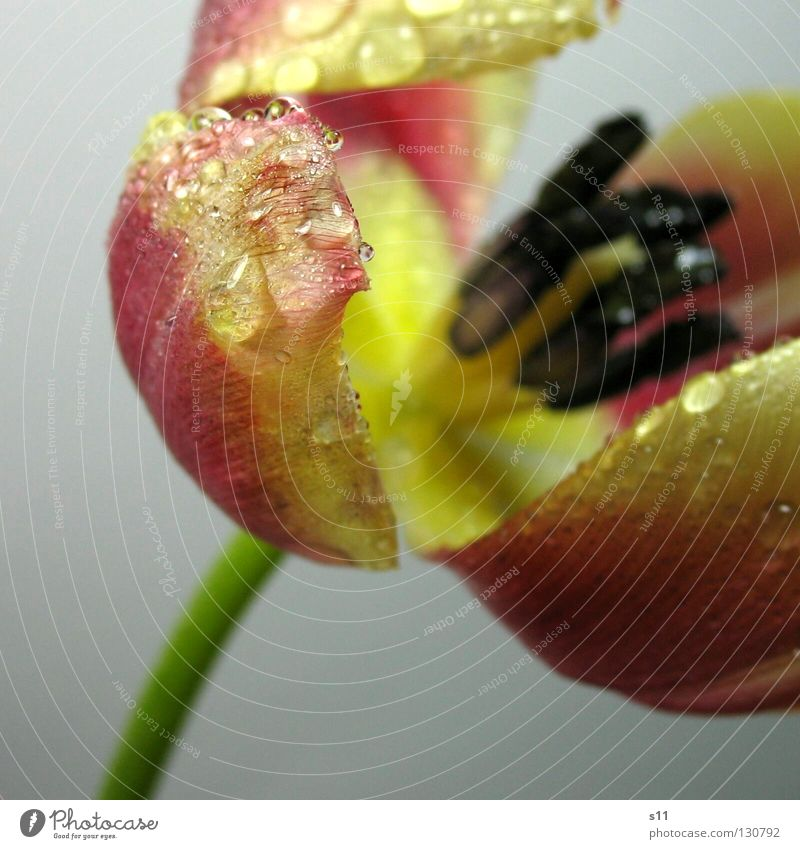 Tulip drip wet Flower Blossom Spring Old Blossoming Transience Vessel Arrangement Looking Blossom leave Blue Black Pink Yellow Green Stalk Isolated Image Wet