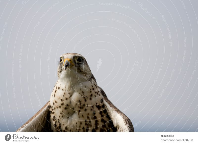 falconry Falcon Bird Bird of prey Peace Beak Kill Hunting Appetite Concentrate fly Flying Freedom Smooth Feather