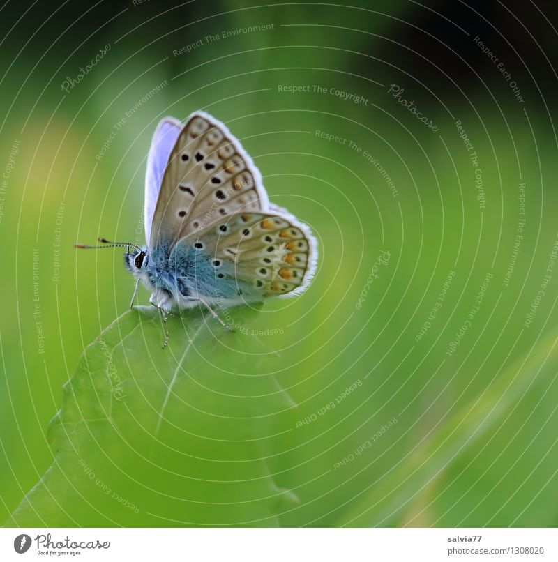 little blue Environment Nature Plant Animal Spring Summer Grass Leaf Foliage plant Meadow Butterfly Polyommatinae Insect Feeler Wing Common blue 1