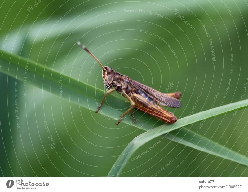 Acrobat in the grass jungle Environment Nature Plant Animal Summer Grass Leaf Blade of grass Meadow Wild animal Insect 1 Discover To hold on Crouch Crawl Sit