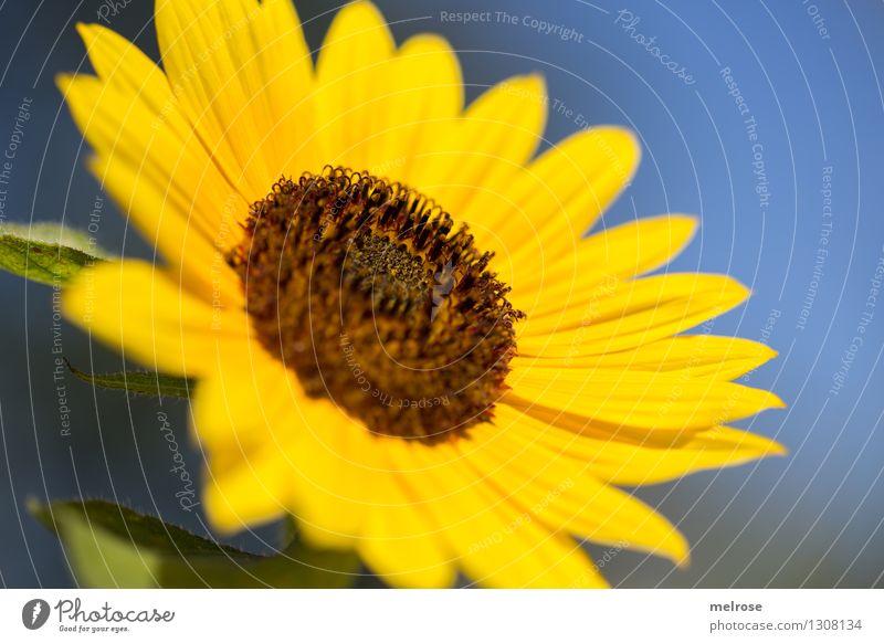 Nature Blue Green Beautiful Summer Sun Flower Yellow Warmth Blossom Style Garden Brown Moody Growth Illuminate
