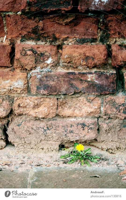mauerBLÜMCHEN Wall (barrier) Masonry Wall (building) Derelict Flower Blossom Dandelion Yellow Individual Plant Hope Growth Maturing time Small Powerless