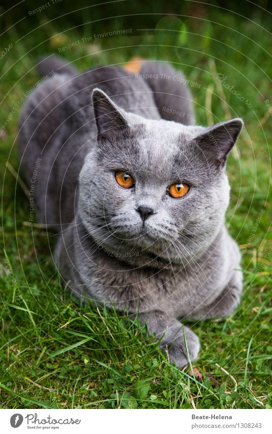 Lord of and to Bernstein invites to audience Lifestyle Nature Summer Beautiful weather Grass Meadow Hair and hairstyles Gray-haired Cat Animal face Paw