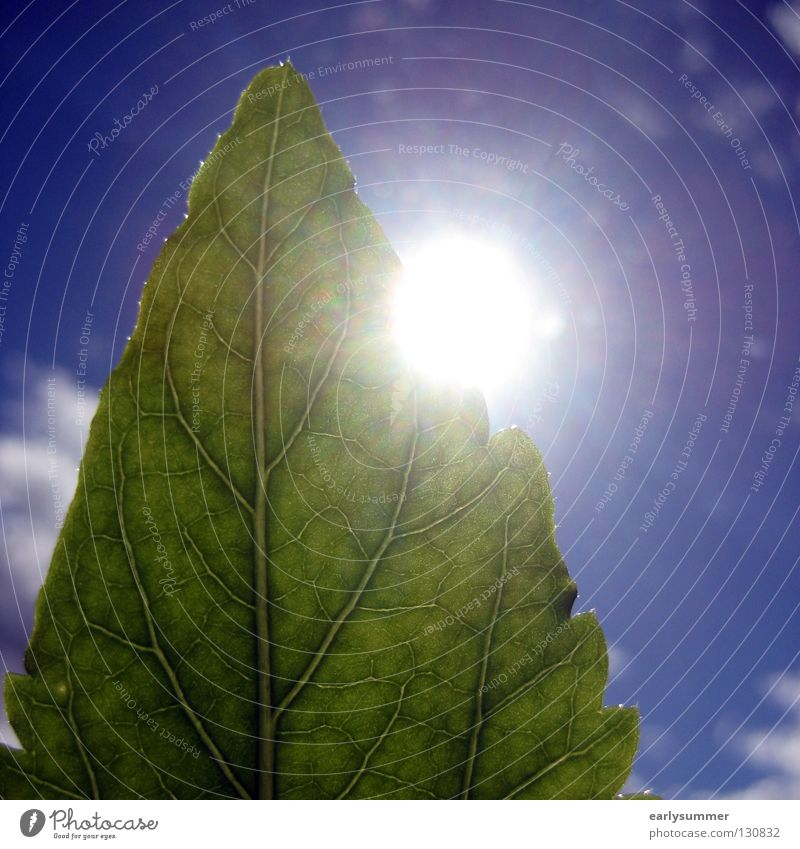 greenscreen-ing Sun Nature Plant Sky Clouds Sunlight Spring Summer Leaf Foliage plant Agricultural crop Bright Near Blue Green Colour Hibiscus Photosynthesis