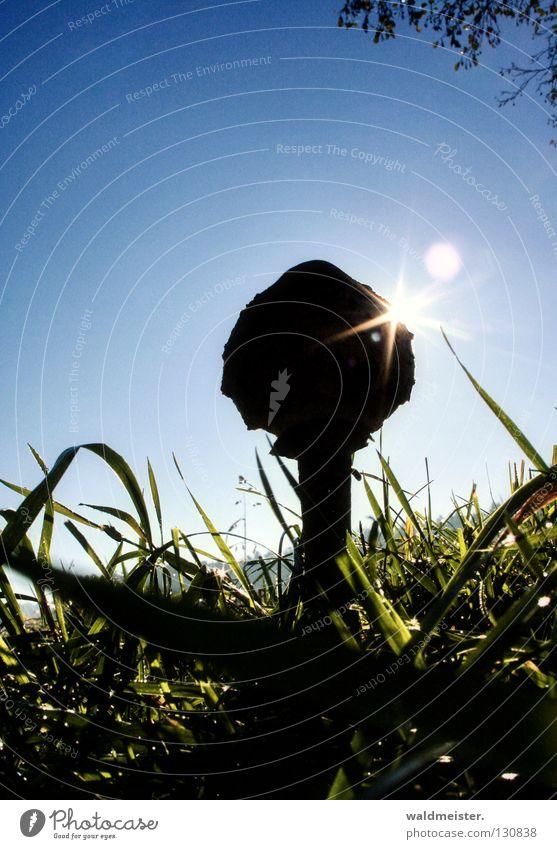 Mushroom with sun Collection Meadow Grass Autumn Morning Parasol mushroom go mushrooming Sun