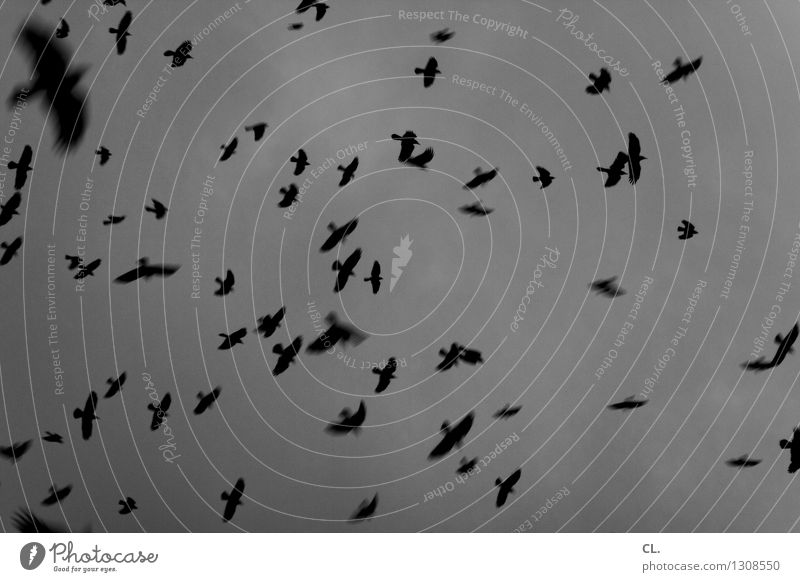 peep up Environment Nature Sky Clouds Bad weather Animal Bird Group of animals Flock Flying Dark Infinity Freedom Complex Black & white photo Exterior shot
