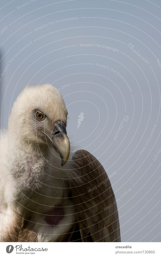 Beautiful Freedom Bird Flying Feather Wing To feed Neck Animal Vulture Glider flight Scavenger