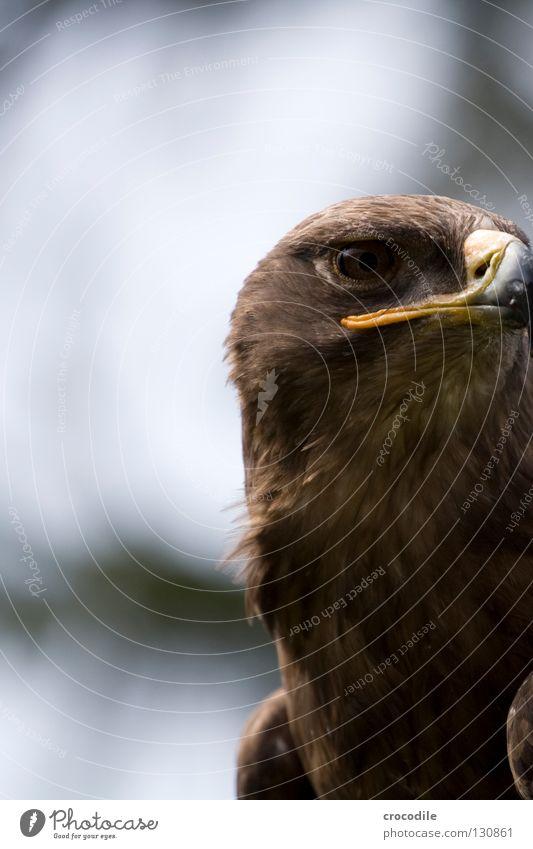 eagle eye Eagle Hunter Kill Beak Captured Bird Beautiful Flying roaring bird Aviation Feather Wing Freedom Eyes