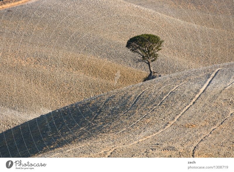Nature Plant Tree Loneliness Landscape Environment Brown Sand Field Growth Earth Individual Italy Elements Hill Dry