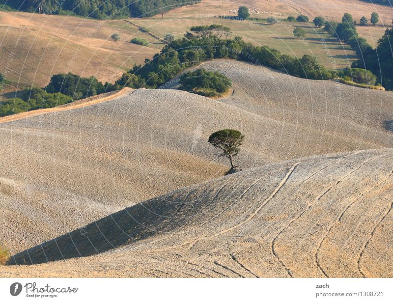 lone fighters Environment Nature Landscape Elements Earth Sand Climate change Drought Plant Tree Field Hill Desert Italy Tuscany To dry up Growth Dry Brown