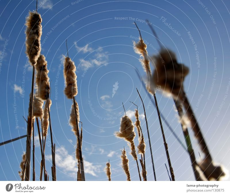 Skywards Sunbeam Summer Common Reed Grass Blade of grass Absorbent cotton Soft Wind Breeze Morning Shadow Nature good weather Blue sky Coast Landscape