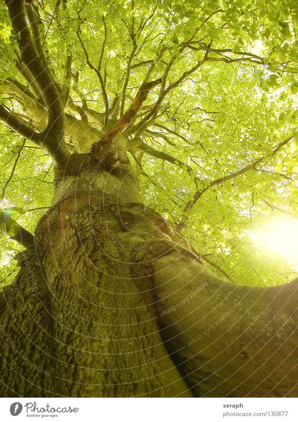 Ancient Beech Nature Old Green Plant Sun Tree Leaf Forest Growth Idyll Branch Tree trunk Twig Treetop Tree bark Leaf green