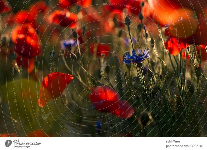 Spreedorado. Mo(h)n dieu. Plant Flower Blossom Meadow Field Red Poppy Poppy blossom Poppy field Poppy capsule Corn poppy Grain Cornfield Cornflower