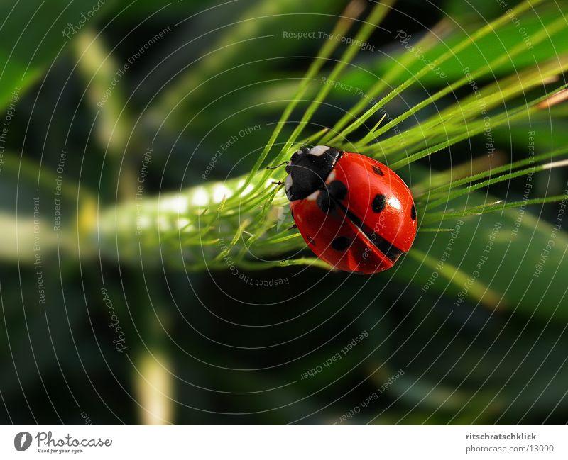 Ladybird Wheat