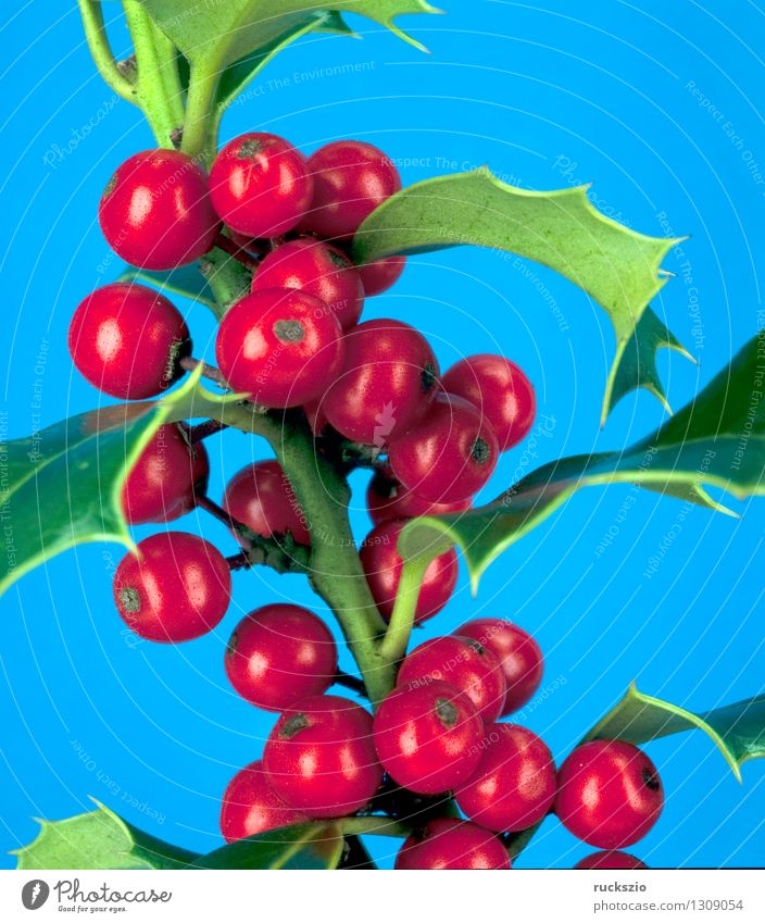 Holly, Ilex aquifolium Alternative medicine Nature Plant Bushes Wild plant Free Blue Red holly aquifolium red berries red berry Berries ornamental shrub