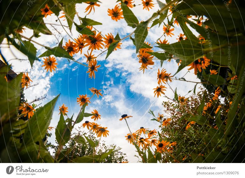 coneflower Nature Plant Sky Clouds Summer Flower Blossom Blossoming Esthetic Happiness Fresh Infinity Natural Positive Juicy Blue Yellow