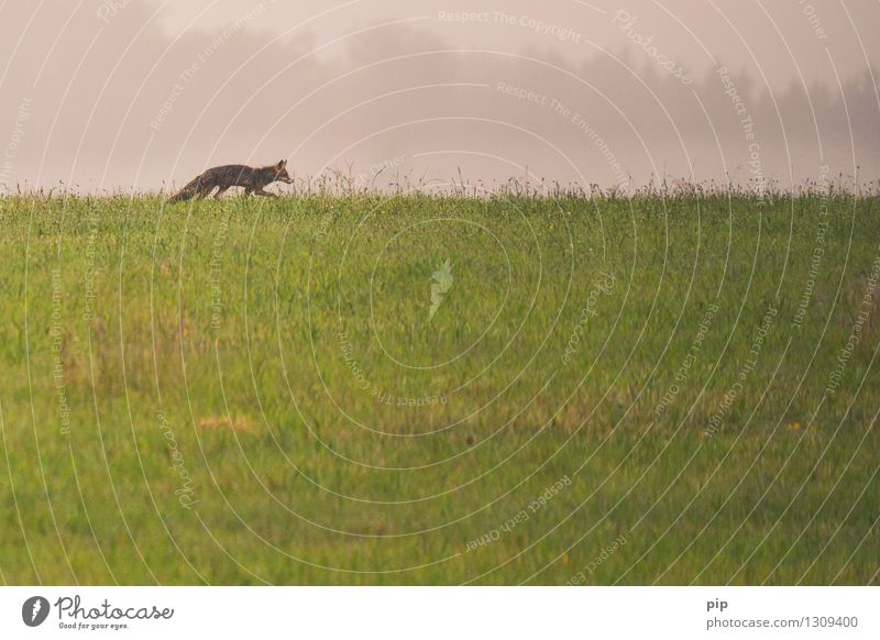fux Nature Grass Meadow Field Animal Wild animal Fox 1 Going Walking Appetite Loneliness Hunting Smart Deerstalking Horizon Animal tracks Subdued colour