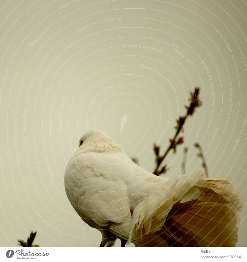 looking up his skirt Environment Nature Animal Bird Pigeon 1 Crouch Sit Natural Gloomy Gray White Peace Dove of peace Colour photo Exterior shot Deserted