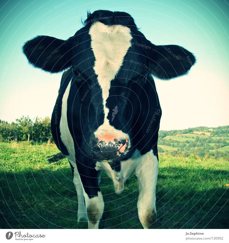 Bella Grass Meadow Animal Farm animal Cow 1 Stand Idyll Dairy cow Cattle Free-range rearing Organic farming Ecological Dappled Speckled Frontal Pasture