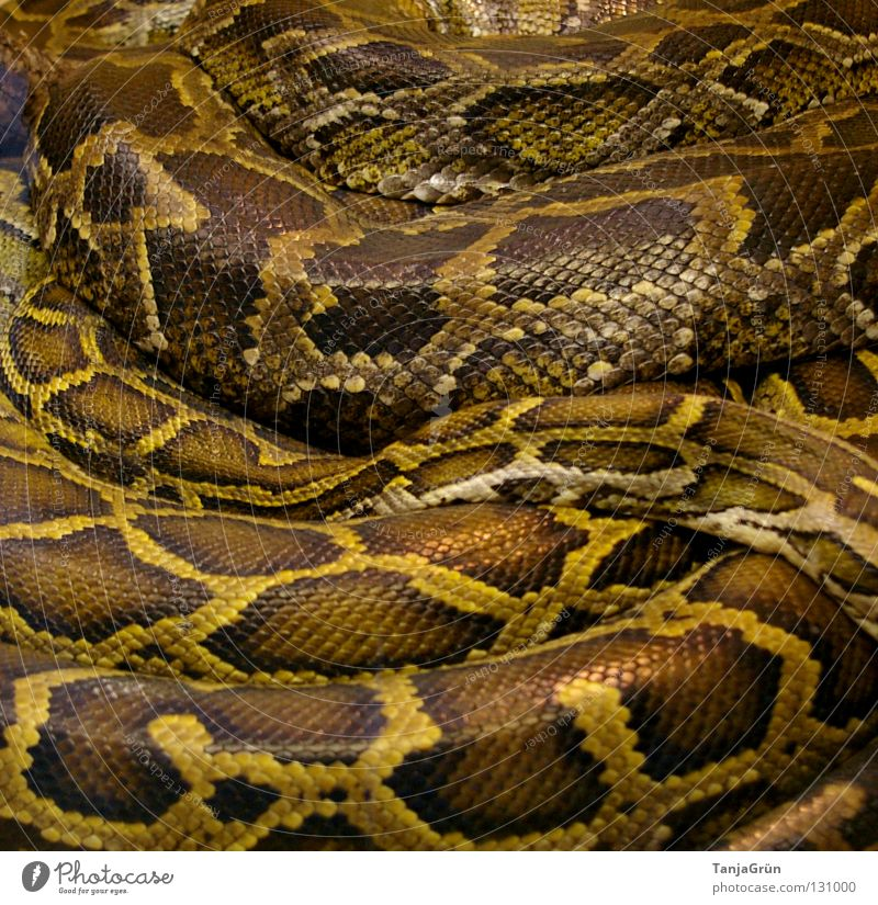 tender embrace Reptiles Muddled Narrow Cobra Grating Brown Beige Black Zoo Berlin zoo Captured Sleep Cozy Pattern Animal Poison Long Embrace Africa Terrarium