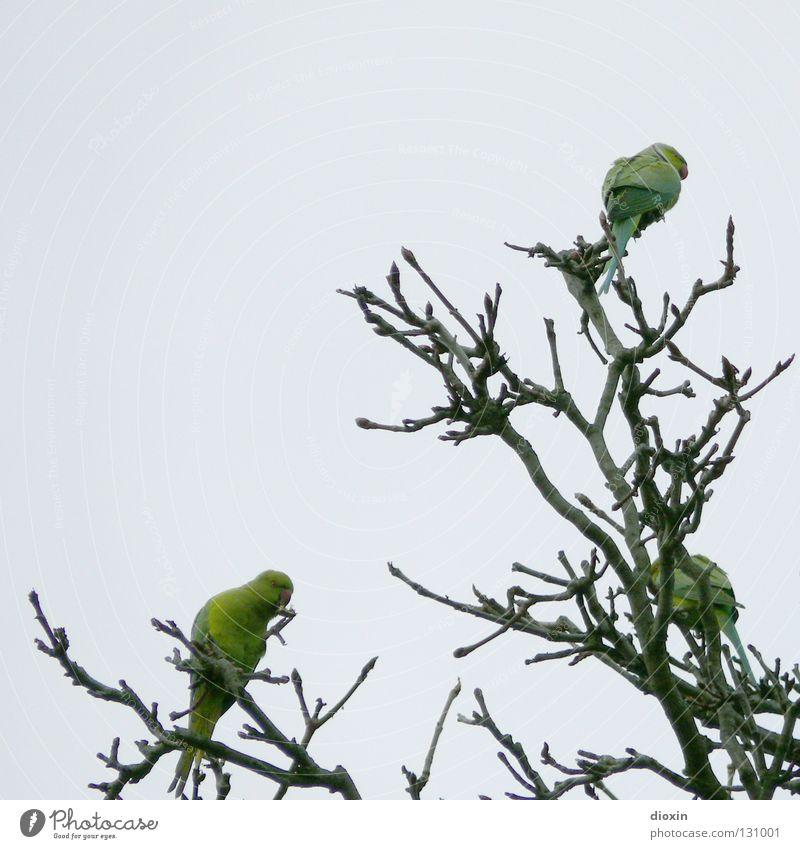 Tree Green Freedom Bird Flying Feather Wing Branch Beak Mannheim Rhineland-Palatinate Parrots Heidelberg Drift Ludwigshafen