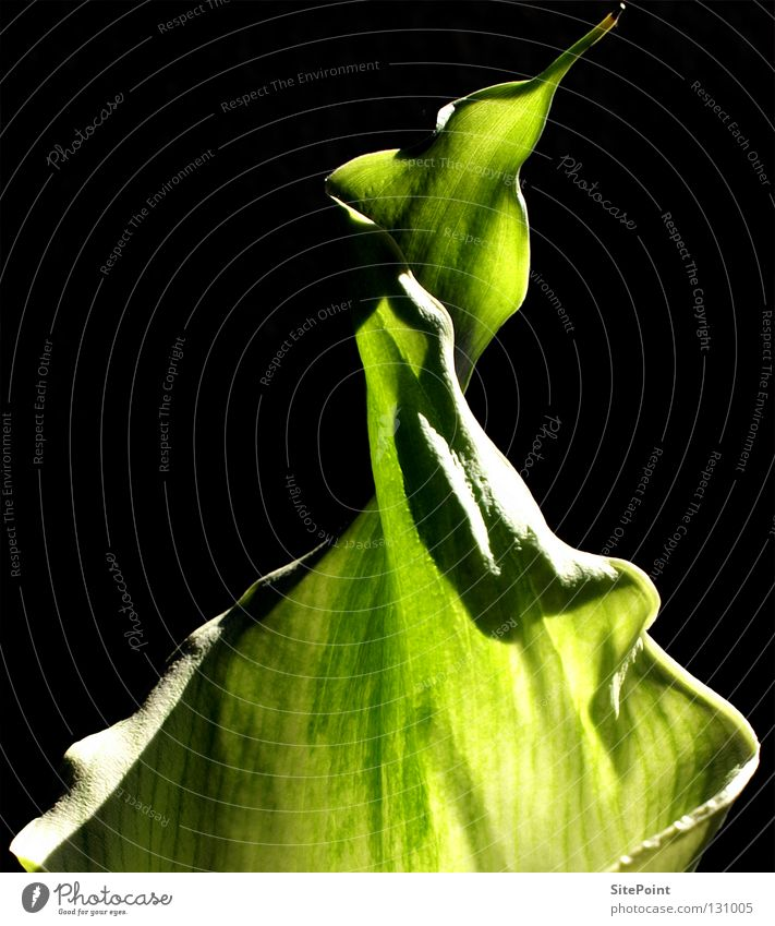 Flower Green Black Point Aquatic plant Calla