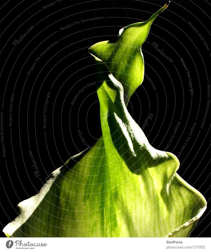 Green Calla Flower Black green detail Point
