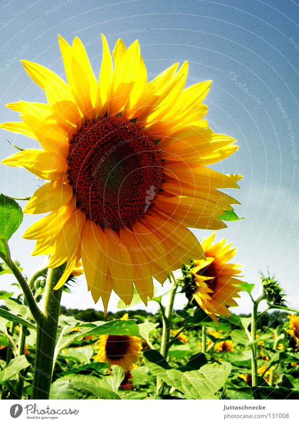 Sun Flower Green Summer Joy Yellow Blossom Warmth Field Healthy Fresh Physics Blossoming Agriculture Sunflower Seed