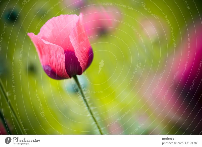 Nature Plant Green Beautiful Summer Relaxation Flower Calm Blossom Meadow Style Pink Illuminate Elegant Blossoming Beautiful weather