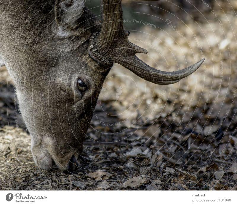 fallow deer Deer Fallow deer Game park Antlers Gray Brown Silhouette To feed Peace Mammal Profile Be confident Looking Wild animal Smooth Eyes