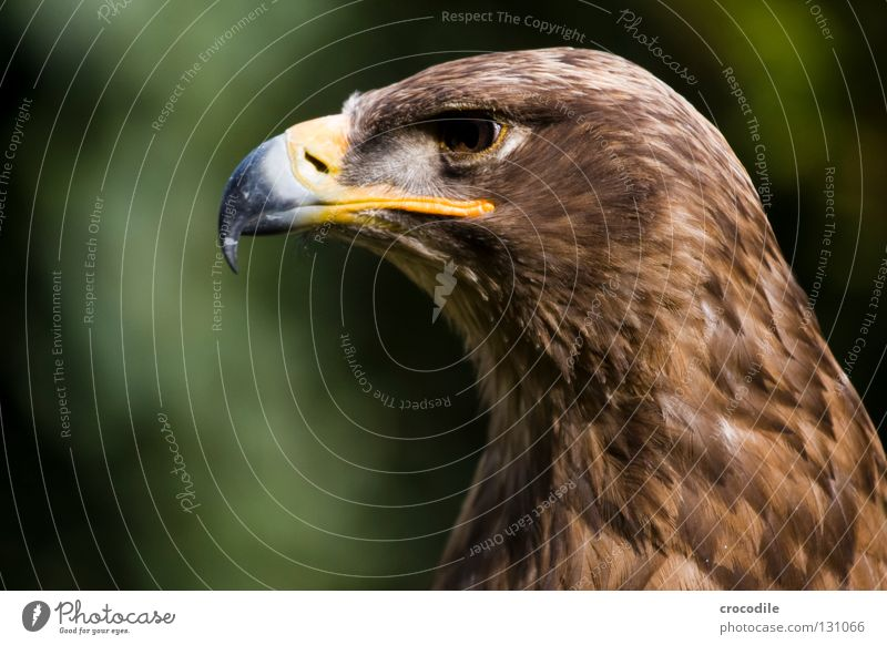 eagle portrait Eagle Motionless Beak Bird of prey Brown Checkmark Kill Animal Beautiful Plumed Captured Power Force Feather Looking Hunting Flying Freedom