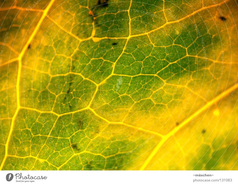 blood circulation Photosynthesis Leaf Blood circulation Vessel Macro (Extreme close-up) Provision Green Yellow Brown Light Progress Putrefy Air Breathe Flower