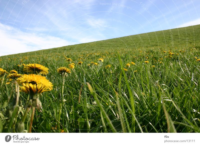 buttercup party Dandelion Meadow Grass Green Pasture Spring Mecklenburg-Western Pomerania Sky Sun Idyll