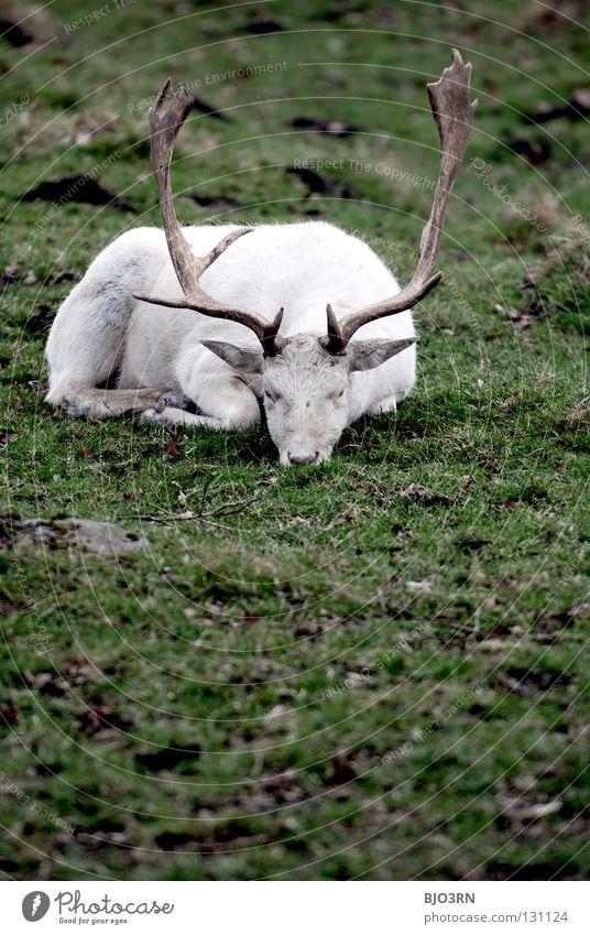 White Animal Sadness Germany Wild animal Shabby Bavaria Mammal Deer Portrait format Buck Albino Even-toed ungulate