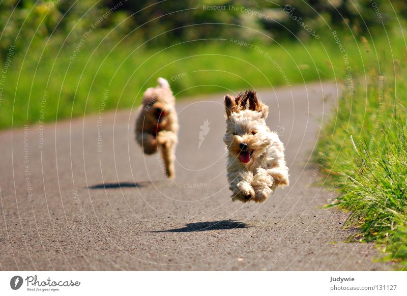 flying dogs Colour photo Exterior shot Joy Happy Summer Sporting event Friendship Ear Dog Running Flying Walking Green Poodle Dachshund Action Beige Crossbreed