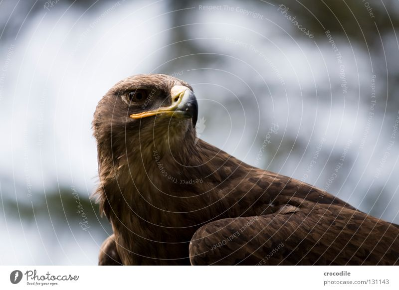 eagle Eagle Motionless Beak Bird of prey Brown Checkmark Kill Animal Beautiful Plumed Captured Concentrate Feather Looking Hunting Flying Freedom falconry