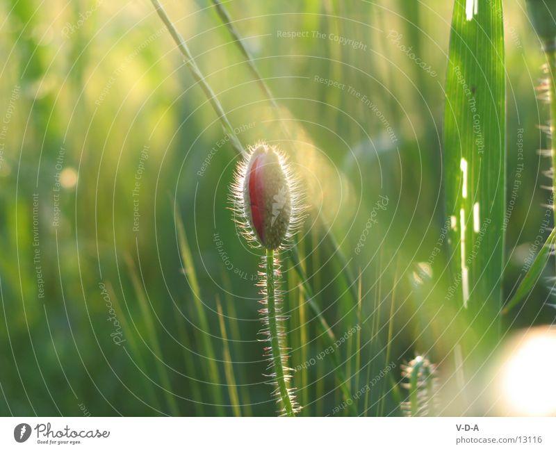 poppy flower Poppy Meadow fel Nature