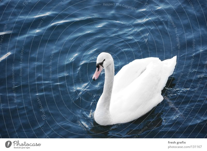 swan lake Swan Animal Lake Pond White Calm Duck birds Glide Feather Bird Water River King Lighting Noble Float in the water Swimming & Bathing Animalistic