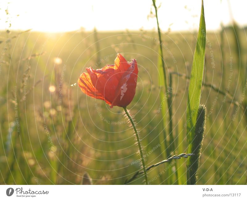 Nature Flower Field Poppy
