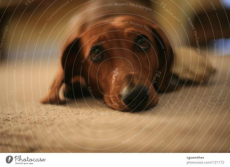 Animal Dog Sadness Grief Pelt Mammal Pet Snout Dachshund