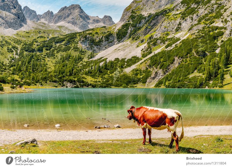 Mountain lake panorama with cow (and ducks) Vacation & Travel Tourism Trip Freedom Summer Summer vacation Hiking Spring Forest Rock Alps Lakeside Animal Cow 1