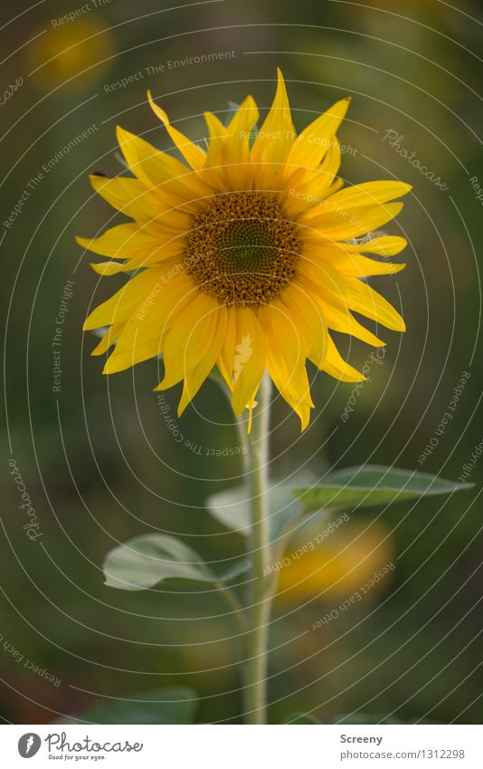 sunny Nature Plant Summer Flower Sunflower Meadow Field Blossoming Growth Brown Yellow Green Happy Warm-heartedness Colour photo Exterior shot Detail Deserted