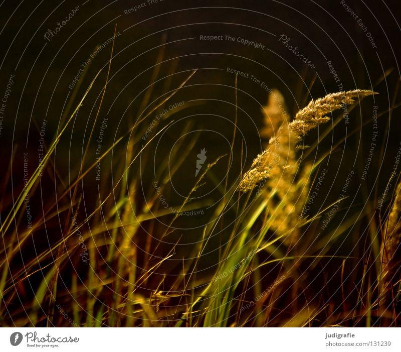 grass Grass Green Stalk Blade of grass Ear of corn Glittering Beautiful Soft Hissing Meadow Delicate Flexible Sensitive Pennate Plant Colour Pollen risp panic