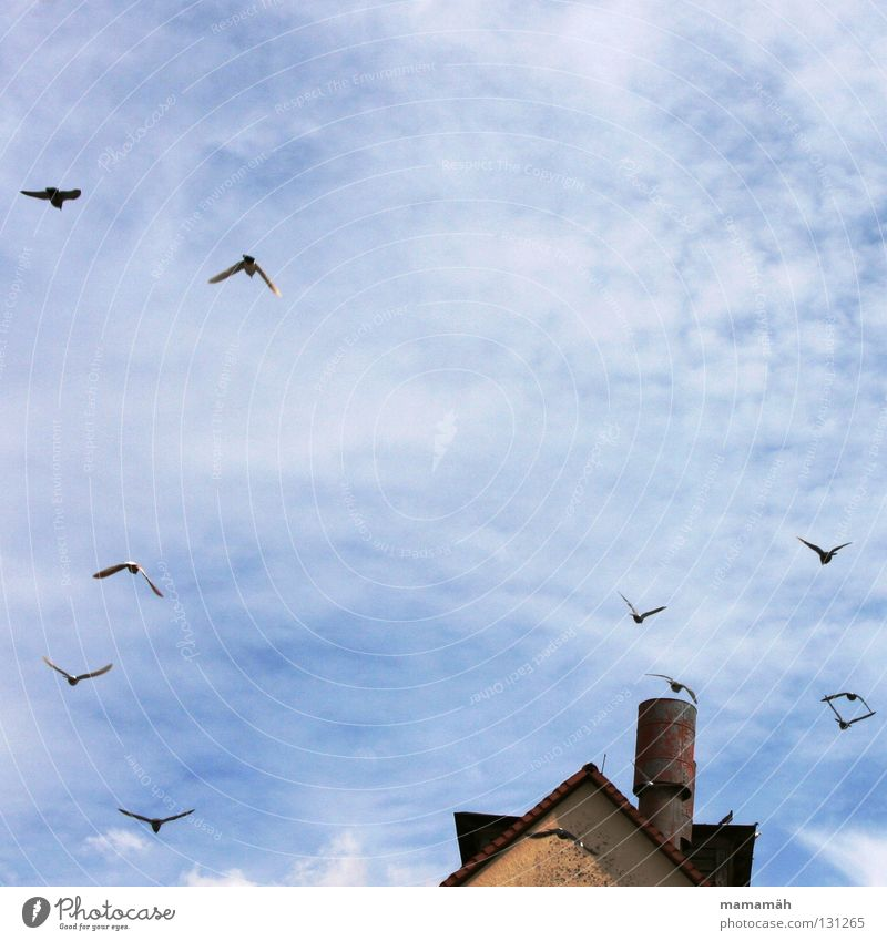 Pigeon panic 1 Bird Clouds House (Residential Structure) Roof Flying Scare Glide Sky Blue Chimney Point Sun Exterior shot Colour photo Group of animals