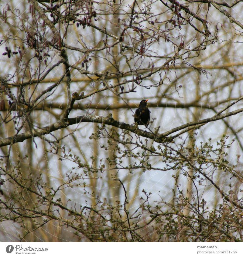 Sky Tree Leaf Spring Orange Bird Sit Branch Beak Bud Blackbird Chirping Whistle