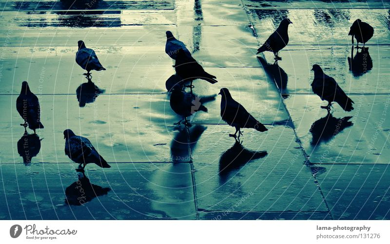 Blueprint of pigeons Pigeon Bird Accumulation Assembly Reflection Wet Puddle Places Shadow play Silhouette Town Thunder and lightning Colour columbidae Rain