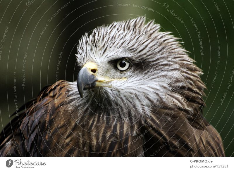 Determined & courageous Eagle Bird of prey Beak Looking Environmental protection Heraldic animal Resolve Landmark Noble Concentrate Beautiful endangered species