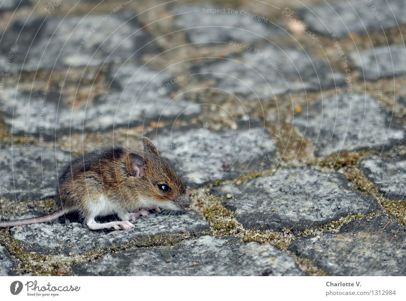 mouse child Animal Summer Moss Wild animal Mouse 1 Stone Crouch Sit Wait Cuddly Small Cute Soft Brown Gray White Fear Loneliness Feeble Survive Paving stone