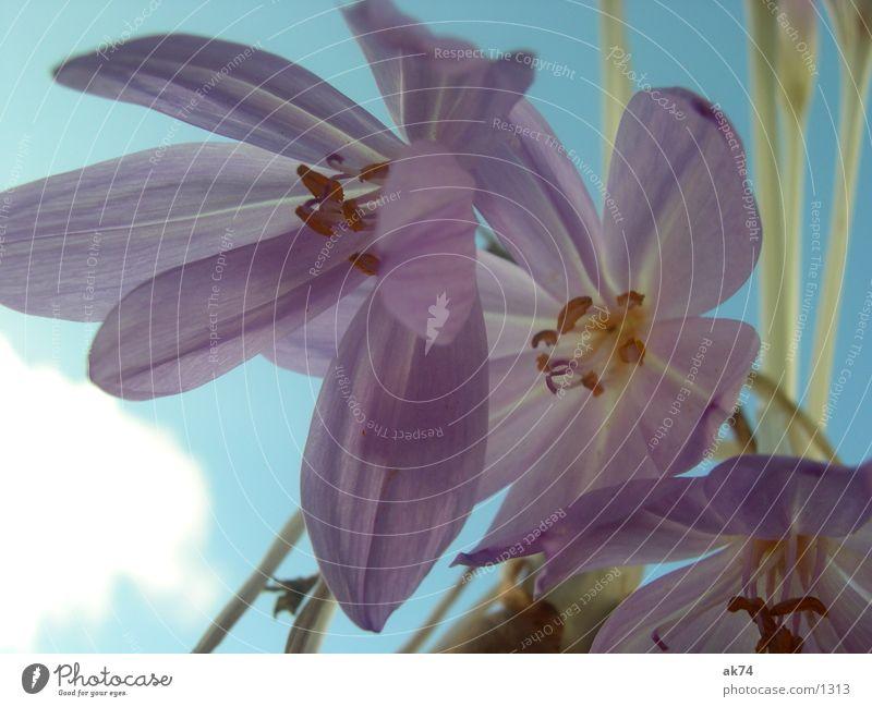 Sky Flower Blue Blossom Violet
