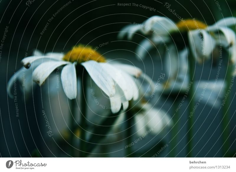 sorrow Nature Plant Spring Summer Autumn Flower Leaf Blossom Marguerite Garden Park Meadow Blossoming Faded Growth Natural Beautiful Yellow Black White Sadness